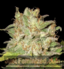 CBD Widow Feminised 3 Ganja Seeds